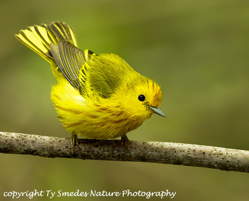 Yellow Warbler (Golden Group)